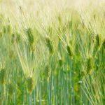 ライ麦とライ麦に含まれる成分