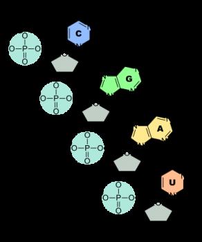 RNAの構造