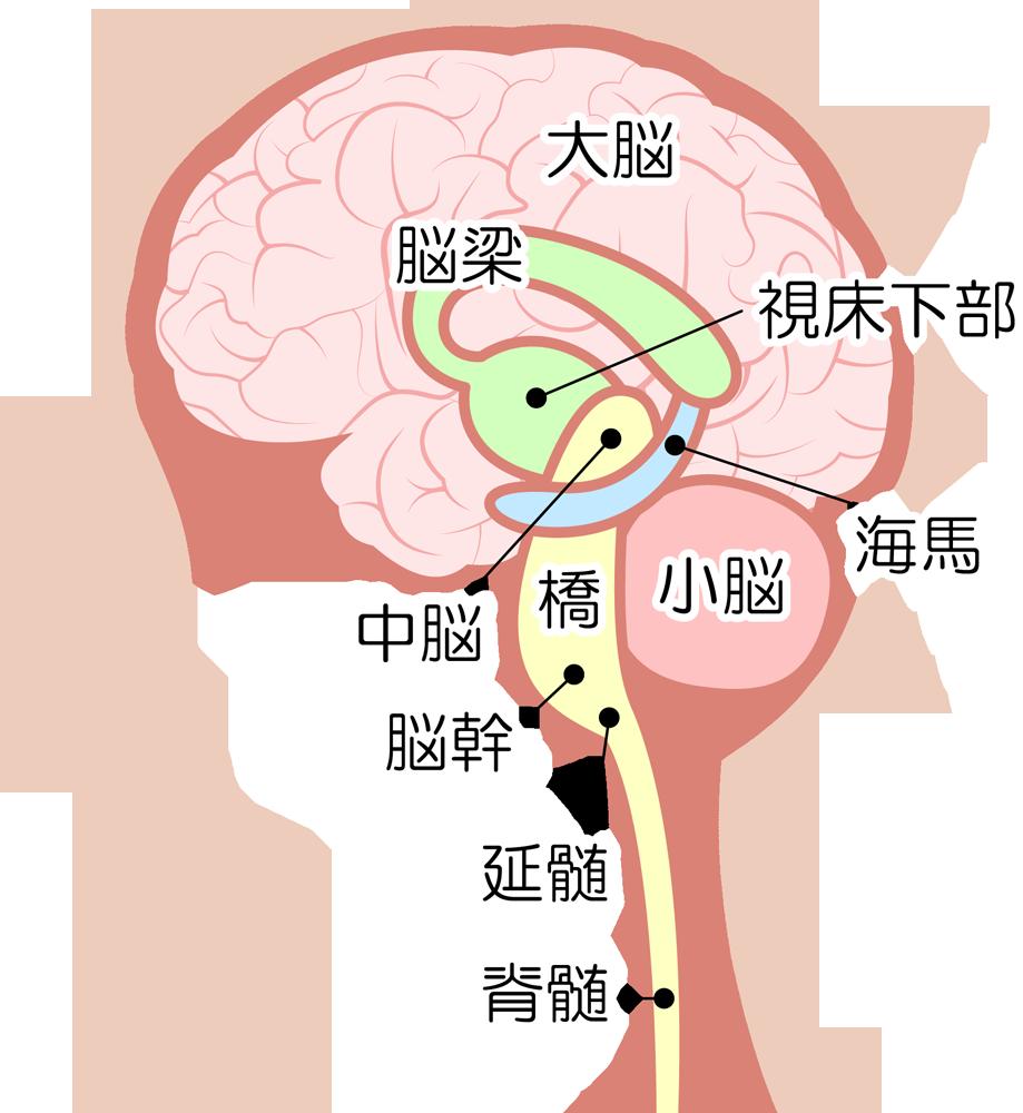 脳や延髄などの構造