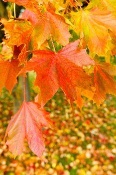 楓の木の葉