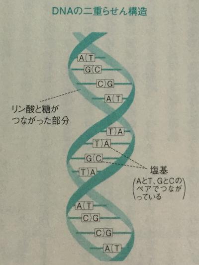 2本のDNAによる二重らせん構造