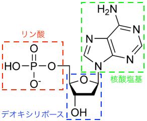 デオキシアデニル酸の化学構造