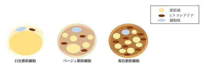 脂肪細胞の種類